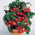 Fresh red tomato bonsai Wang