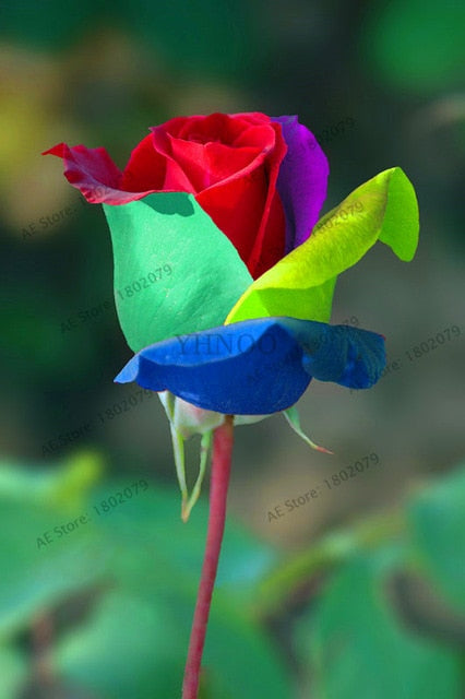 mixed COLORS rose garden rainbow Rose Flowers