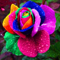 mixed COLORS rose garden rainbow Rose Flowers - exploreyourfashion