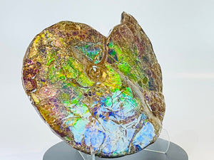 Ammolite Fossil -  Placenticeras Meeki (double sided)