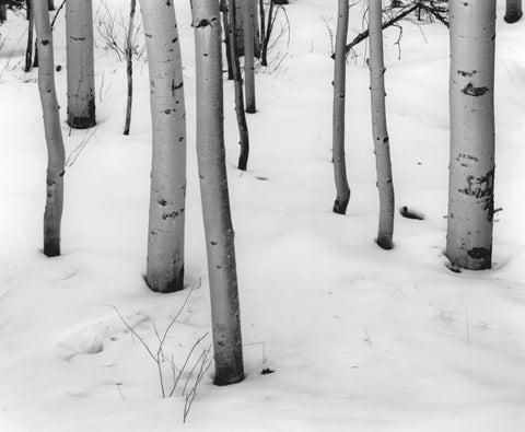 ASPEN TRUNKS IN SNOW, SANTA FE, NEW MEXICO