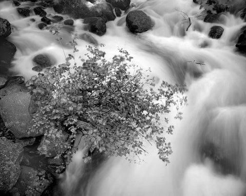 BUSH AND RAPIDS, BRIDALVEIL CREEK, YOSEMITE VALLEY