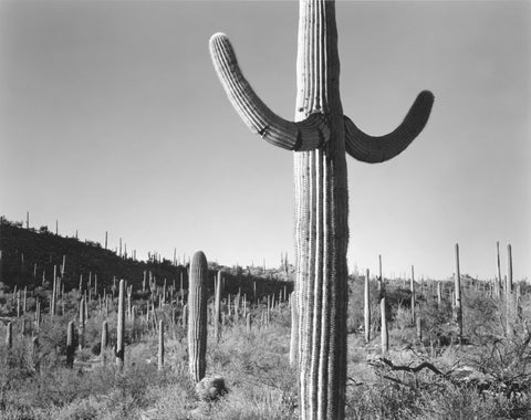 SAGUARO FOREST, TUCSON, ARIZONA