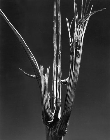 SAGUARO SKELETON, TUCSON, ARIZONA