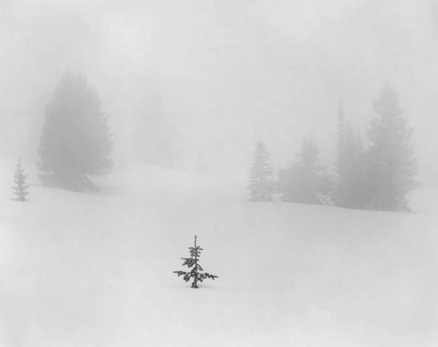 SAPLING IN SNOW, TUSAS MOUNTAINS, NORTHERN NEW MEXICO