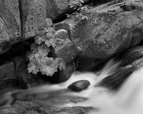 STREAMSIDE,TAMARACK CREEK, YOSEMITE