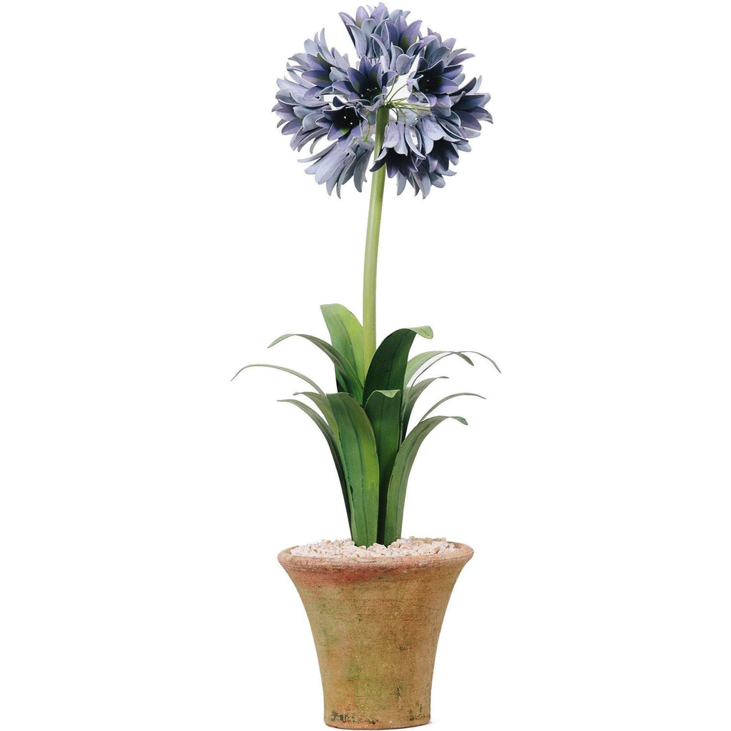 Tommy Mitchell Agapanthus Standard 000LAGPT