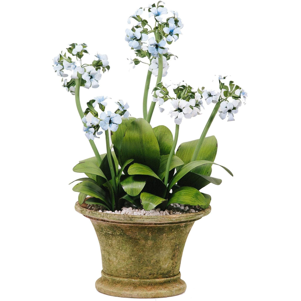 Tommy Mitchell Primula Multi-Stem 000MSPP