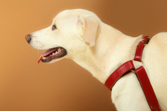 Tango Red Harness