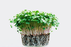 6 Amazing Health Benefits of Broccoli Microgreens