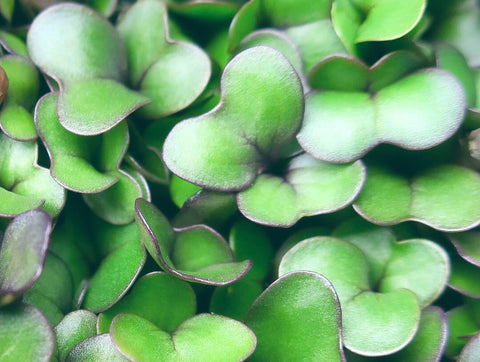 broccoli microgreens antioxidants