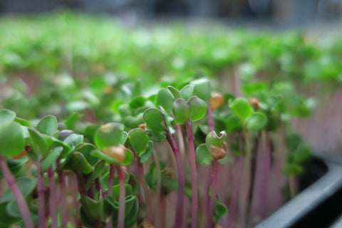 Fresh microgreens with pink stems