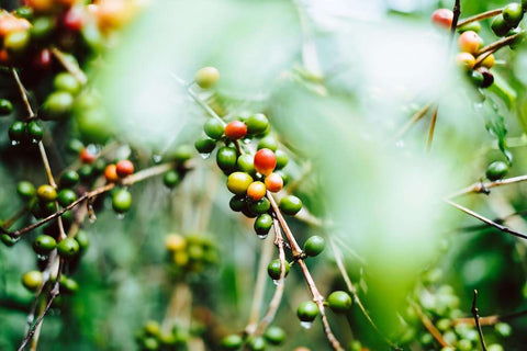 Gerson Cifuentes coffee cherries
