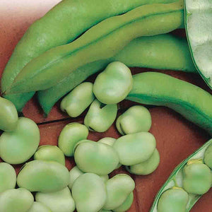A green exterior contains a light green bean within the Bean Borlotto Lingua Di Fuoco (Bush) from McKenzie Farms