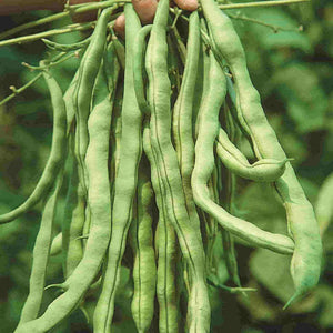 A group of green Bean Kentucky Wonder (Pole) Vegetables from McKenzie Seeds