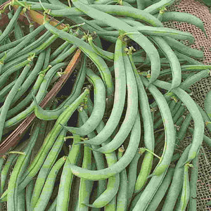 An Assortment of Green Bean Tendergreen Improved - Bulk Pack Vegetables from McKenzie Seeds