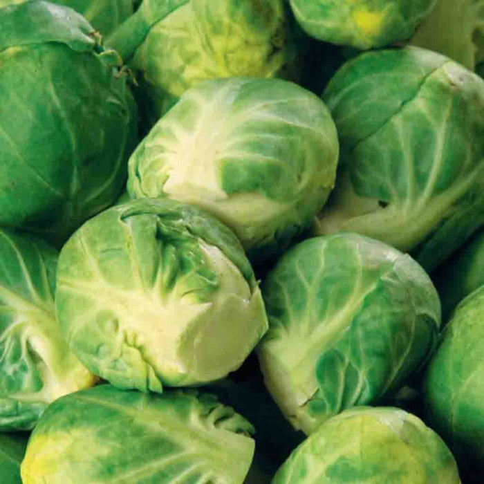 Brussels Sprouts Long Island Improved (Sow Easy)