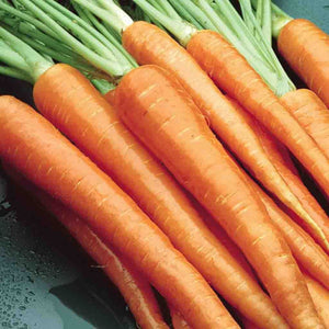 A large orange bundle of McKenzie Seeds Carrot Danvers Half-Long Vegetables