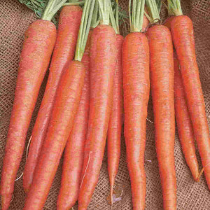 A bundle of long orange McKenzie Seeds Carrot Imperator (Sow Easy) Vegetables