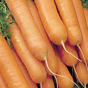 A light orange bundle of McKenzies Seeds Carrot McKenzie's Best Nantes (Sow Easy) Vegetables.