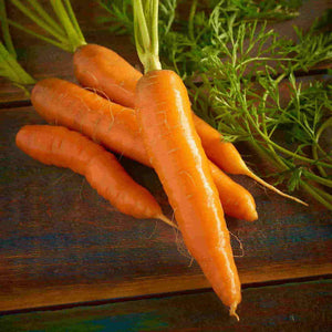 A bright golden orange McKenzie Seeds Carrot Red Cored Chantenay Organic Vegetable