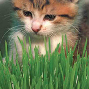 The Purrfect gift for your kitty is a McKenzie Seeds Catgrass Vegetable