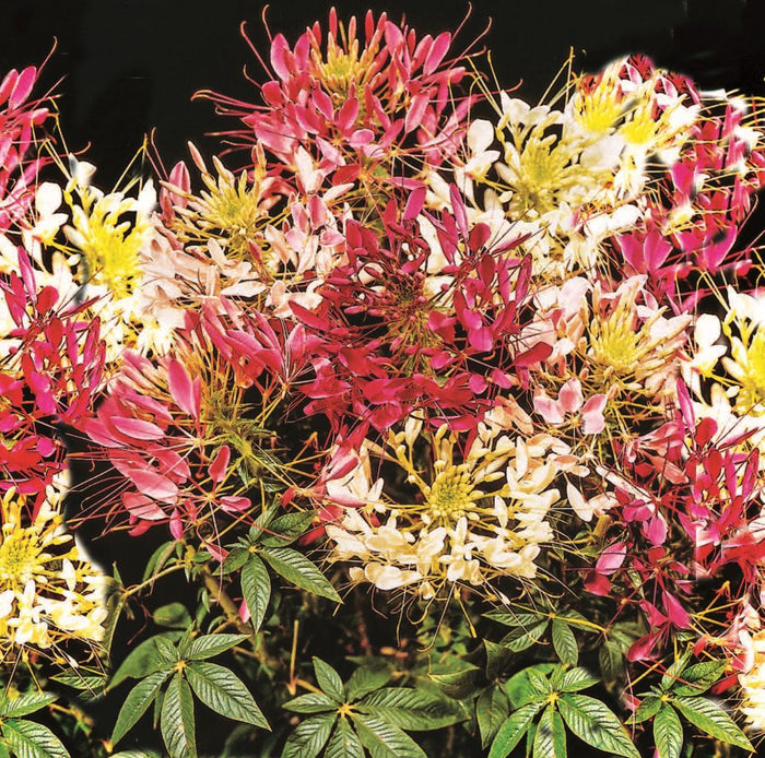 Cleome Color Fountain Mix (Sow Easy)
