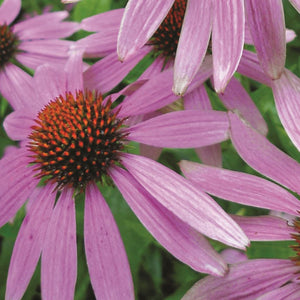 Coneflower Purple (Sow Easy)