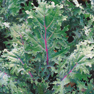 Sow Easy Kale Red & White Russian