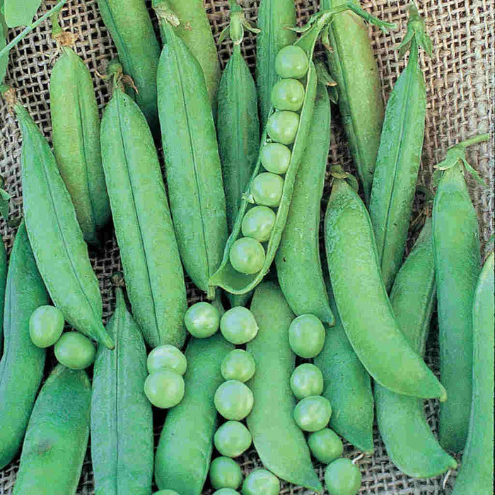 Pea Green Arrow Organic