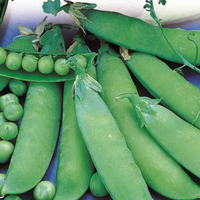 Pea Lincoln Homesteader - Bulk Pack
