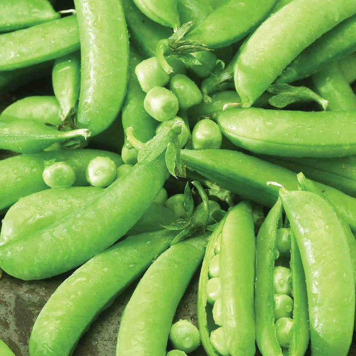 Pea Sugar Snap (Edible Pod) - Bulk Pack