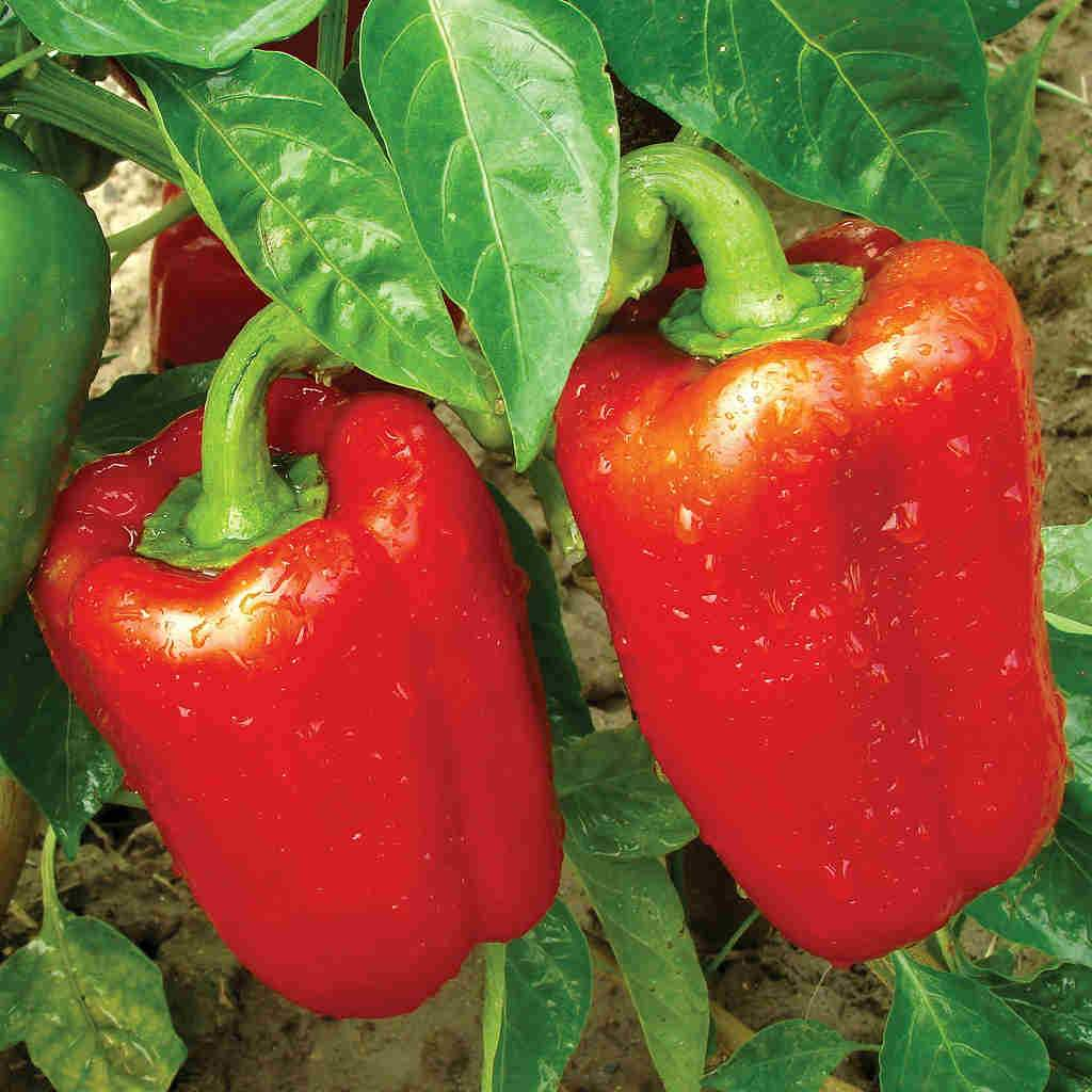 "Picture of 2 (TWO) Live Pepper California Wonder Plant Fit 4"" Pot"