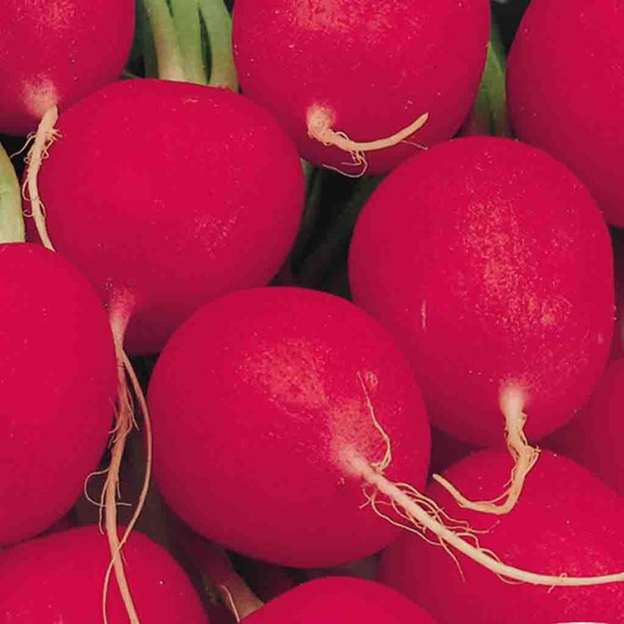 Radish Crimson Giant Champion