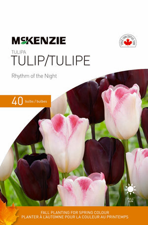 Tulip Rhythm of the Night