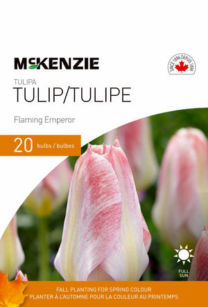 Tulip Flaming Emperor