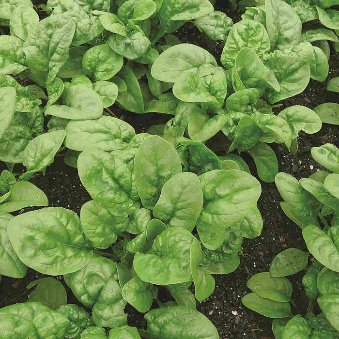 Spinach Long Standing Bloomsdale Seed Tape Organic