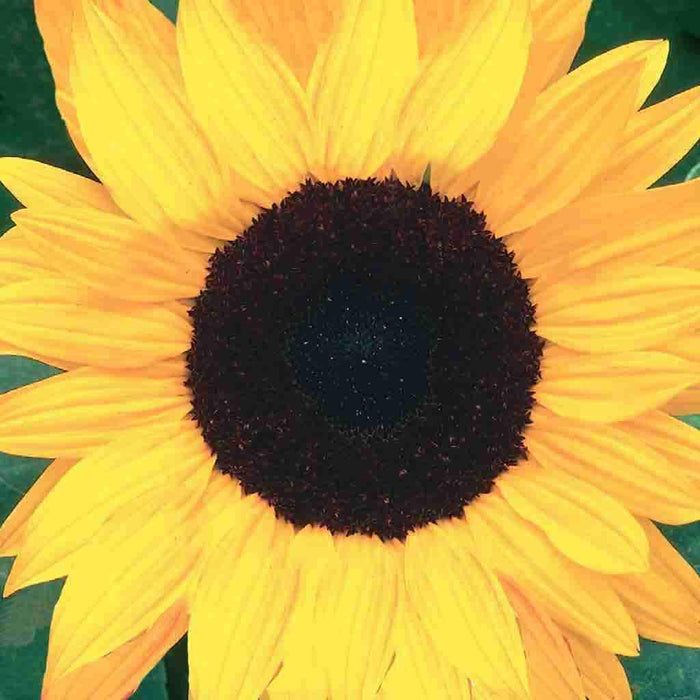 Sunflower Black Mammoth Organic
