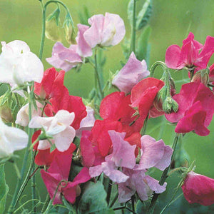 Jumbo Sweet Pea Royal Family Mixed