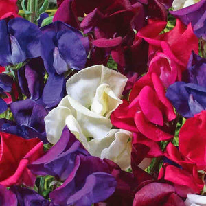 Sweet Pea Starry Night Mix (Jumbo Pack)