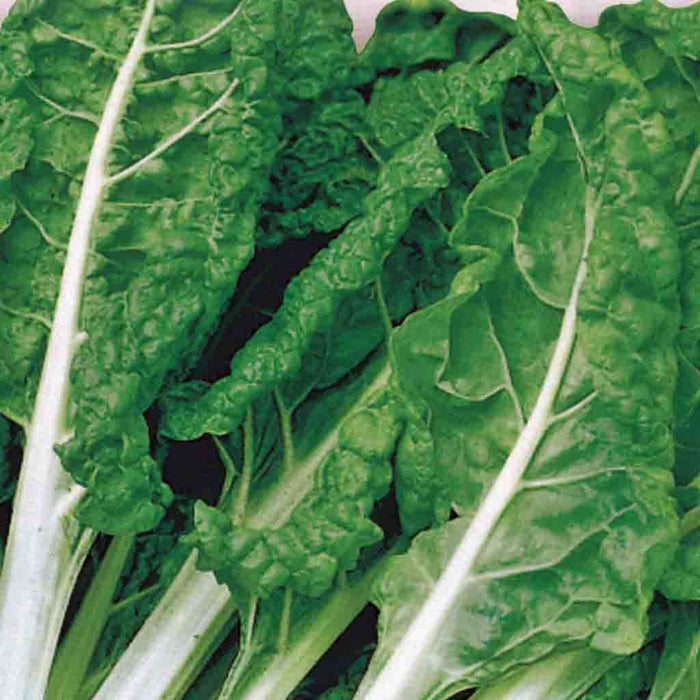 Swiss Chard Fordhook Giant Seed Tape