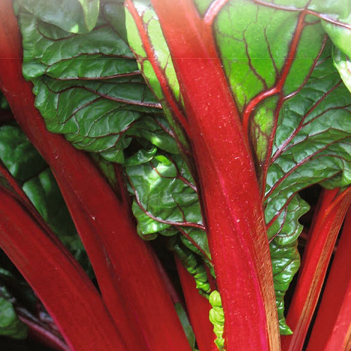 Swiss Chard Ruby Red Organic