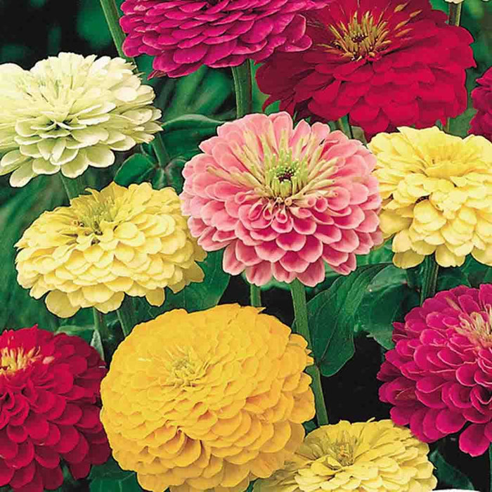 Zinnia State Fair Tetra Flowered (Jumbo Pack)
