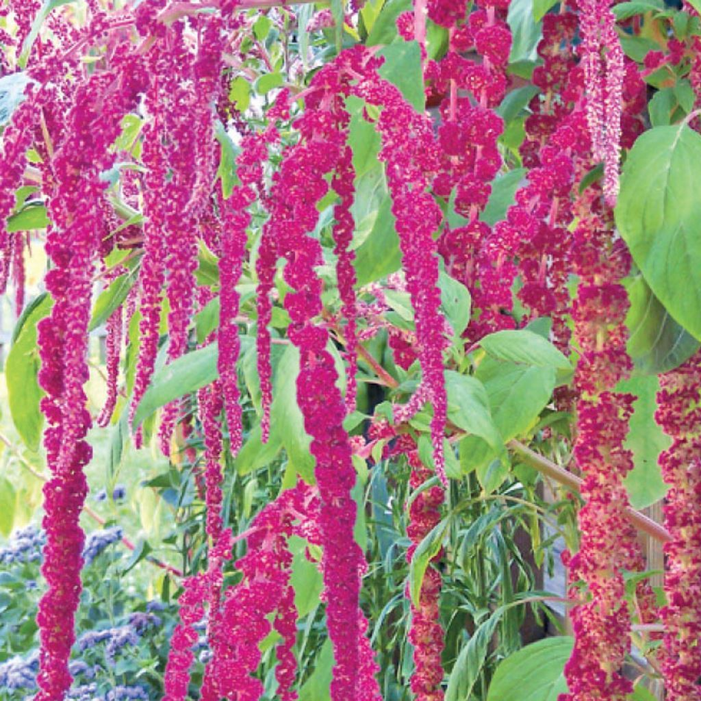 Love Lies Bleeding Within these Radiant Red Amaranth Flowers from McKenzie Seeds
