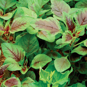 A bundle of Amaranth Red Leaves from McKenzie Seeds