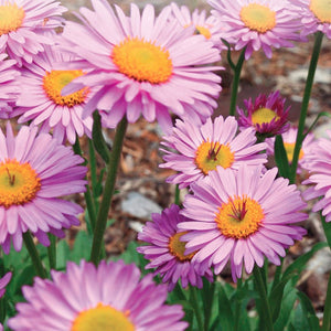 A bright sight of Aster Pinkie Flowers from McKenzie Seeds