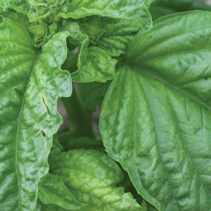Basil Mammoth (Sow Easy)