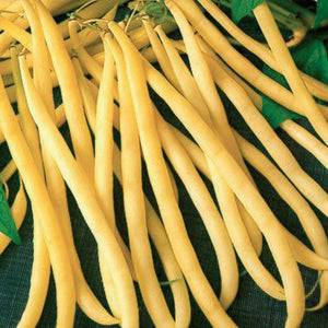 A few yellow Bean Rocquencourt (Bush) Vegetables from McKenzie Seeds
