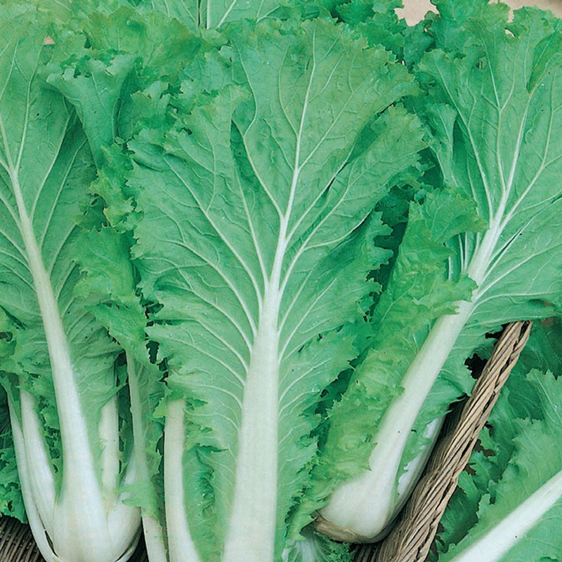 Cabbage Chinese Michihili Mckenzie Seeds