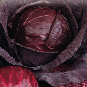 Express your joy with McKenzie Seeds Cabbage Red Express Vegetables